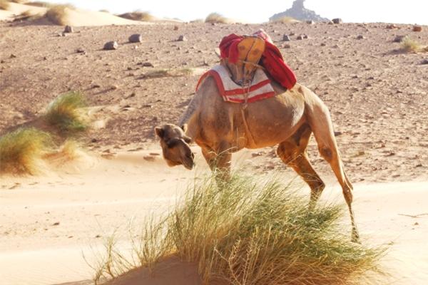 Chameau Mauritanie