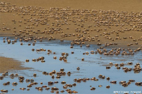 Crabes rivages banc arguin Mauritanie