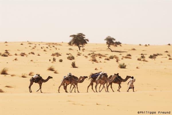 Caravane de chameaux Tagant
