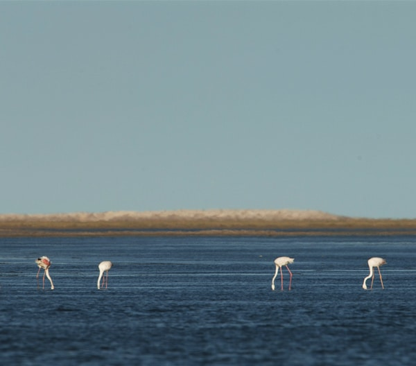 Flamants roses Parc national du Banc d'Arguin en Mauritanie