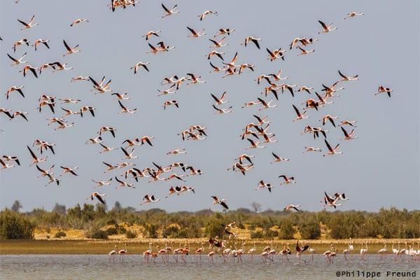 Envol flamants rose parc Diawling Mauritanie