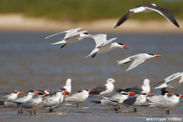 Envol d'oiseaux migrateurs Parc national du Band d'Arguin