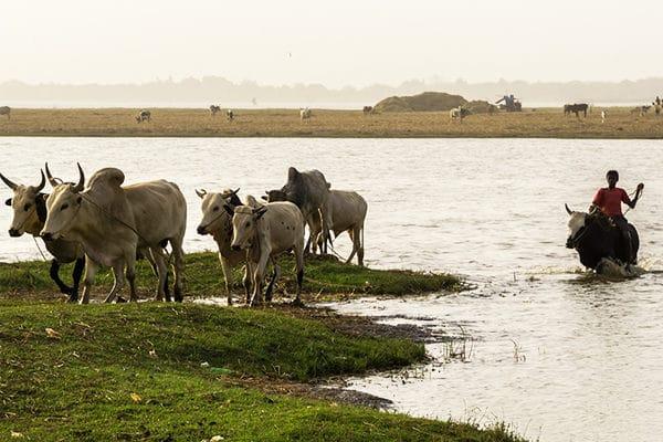 Peul et son troupeau
