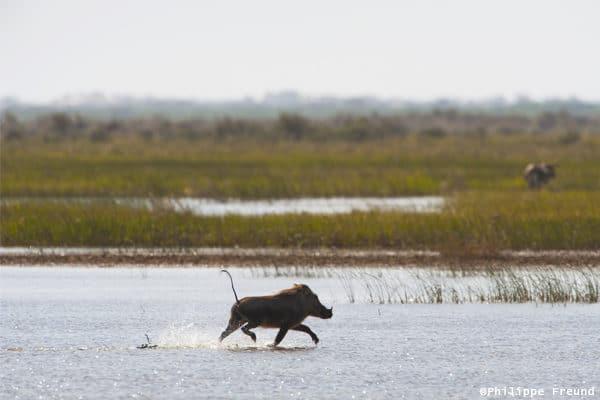 Phacochère marais du Parc national de Diawling