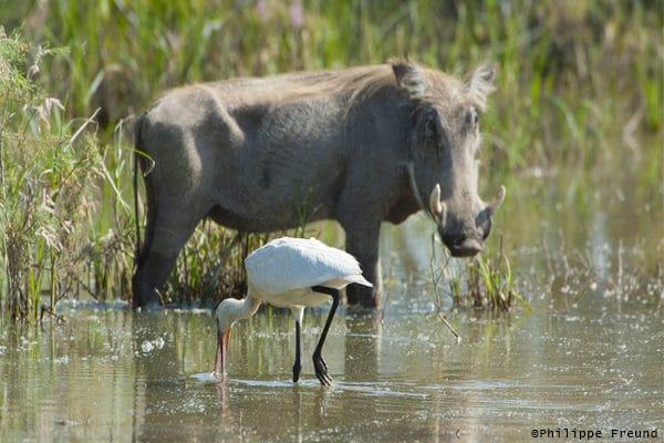 Phacochère et spatule d'Afrique au Parc de Diawling