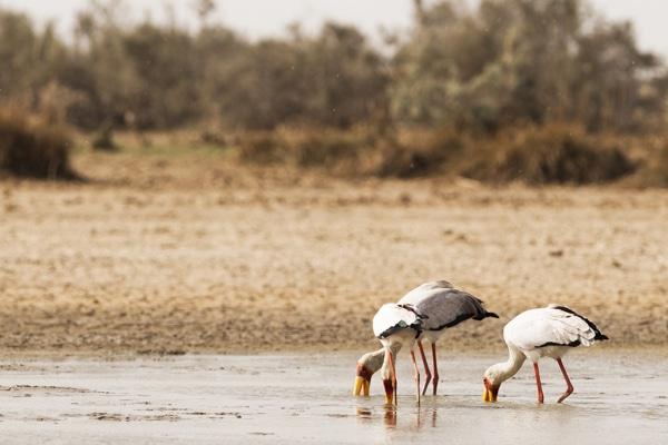 Parc du Diawling - Ibis