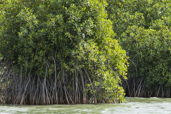 Mangrove Parc du Diawling