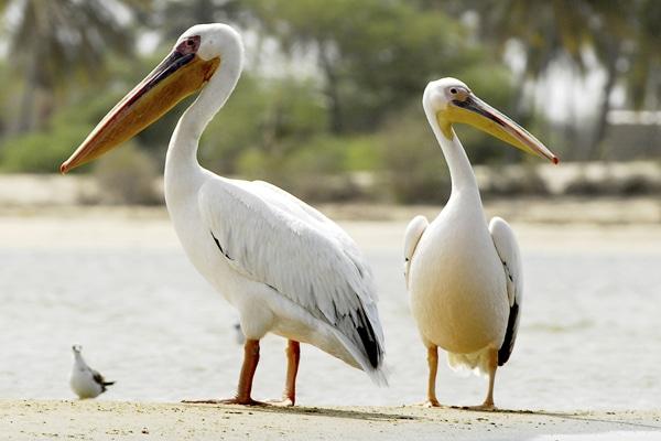 Pélicans St louis du Sénégal