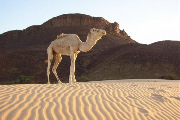 Circuit Leklewa chameau