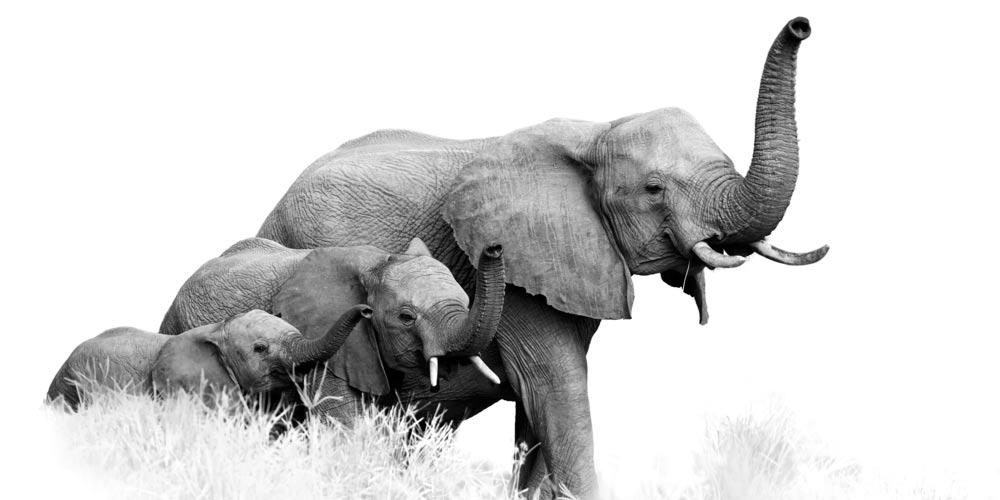 elephants Afrique