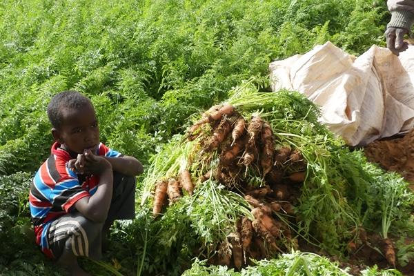 Récolte des carottes Maaden