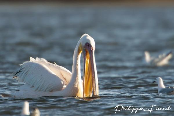 pelican banc arguin